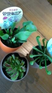 食虫植物(ハエ取り草とサラセニア)